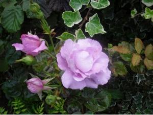roses2010-0042.jpg